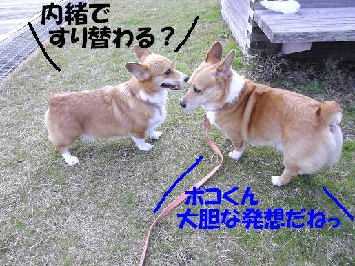 広島のコーギー☆ペコポコ