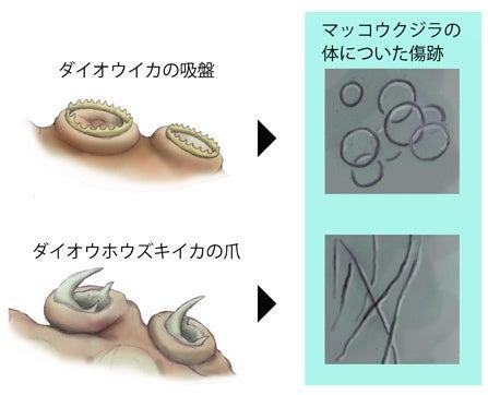 川崎悟司 オフィシャルブログ 古世界の住人 Powered by Ameba-巨大イカの吸盤の違い