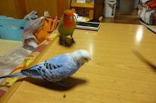 インコままと3匹の鳥たちの生活