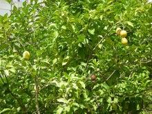 夫婦世界旅行-妻編-レモンの木