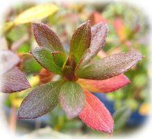 枕崎南楓園のさつき盆栽育て方-2012さつき盆栽・冬の愛で方楽しみ方
