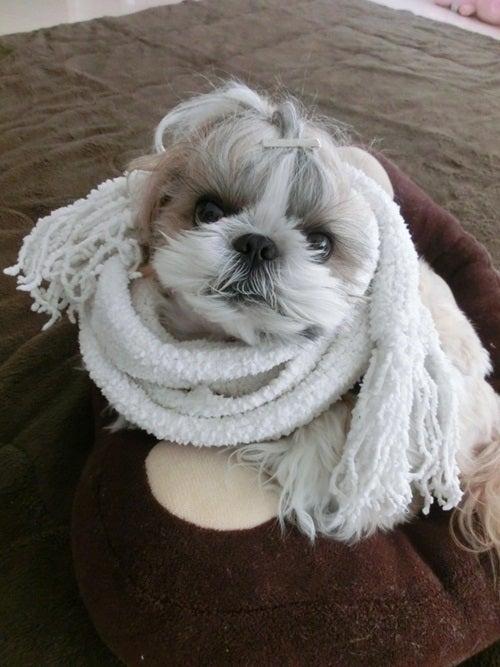 $シーズ犬 Leo