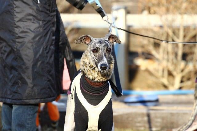 イタグレ、アレックスの本日の犬事情  ピノも一緒!!!