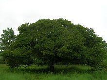 夫婦世界旅行-妻編-カシューナッツの木