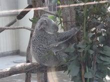 鴻巣の整体院ささき 整体よもやま話-コアラの親子