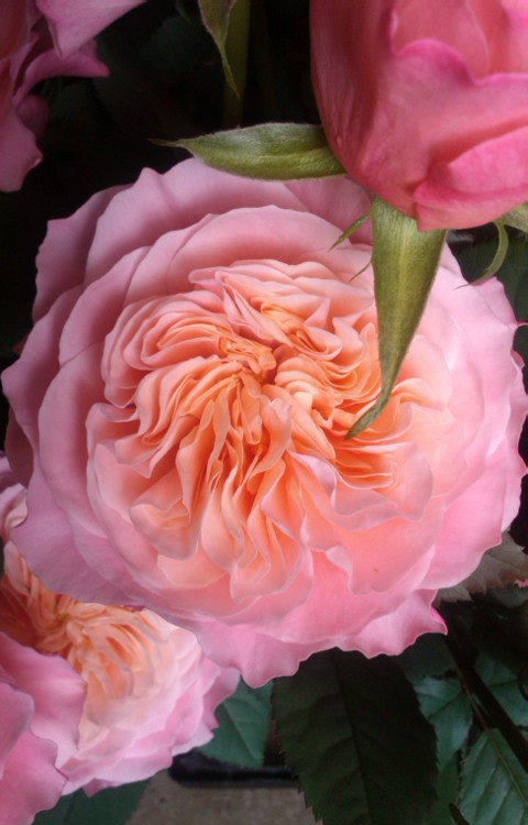 滋賀のばら園『ローズファームケイジ』の農園ブログ
