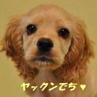 $アメリカンコッカー☆☆モックンです☆☆