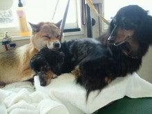 アニマルエステ美犬(ビーワン) うちのお犬・お猫様が一番!!-1358667514556.jpg
