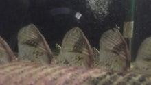古代魚のまさブログ