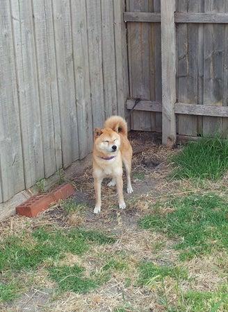 柴犬マメのブログ