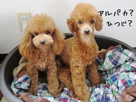 同居犬チワワ×6+2プー
