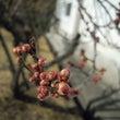 梅は咲いたか桜はまだ…