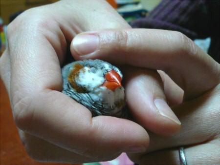 $*ぷちぴよ* birds&mydiary.