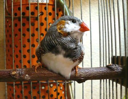 *ぷちぴよ* birds&mydiary.