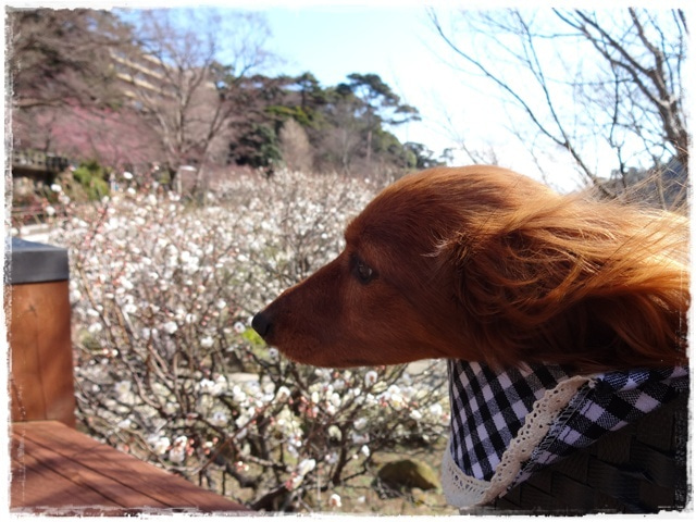 犬旅コンサルタントMiwaのブログ-熱海梅園