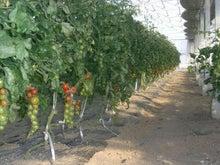 新鮮野菜収穫体験ツアー-とまと