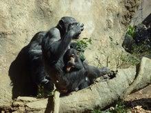 腐ってやがる・・・ぷログ-チンパンジー親子