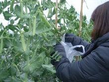 新鮮野菜収穫体験ツアー-体験③