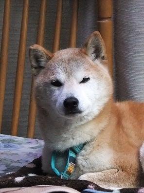 南米で日本犬を探そう! ~ブラジル・サンパウロに暮らす~-リキ