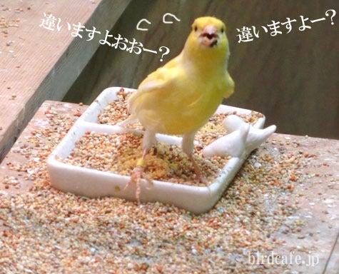 ようこそ!とりみカフェ!!~鳥カフェでの出来事や鳥写真~-餌違うよと訴えるレモンカナリア