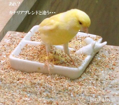 ようこそ!とりみカフェ!!~鳥カフェでの出来事や鳥写真~-じ~っと見比べるレモンカナリア