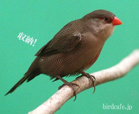 ようこそ!とりみカフェ!!~鳥カフェでの出来事や鳥写真~-羽根を収納カエデチョウ