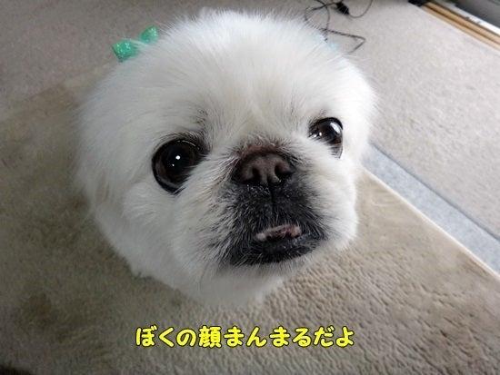 愛犬コンシェルジュ~お散歩仲間の立ち話~-ピーチャマ33