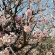 高尾梅郷の梅開花状況…