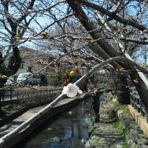 【爛漫の春】桜はじめ…