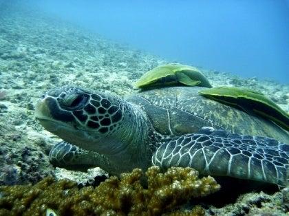 西表島ダイビング あべちゃん海ブログ  「にこにこダイビング」-ダイビングでカメみっけ