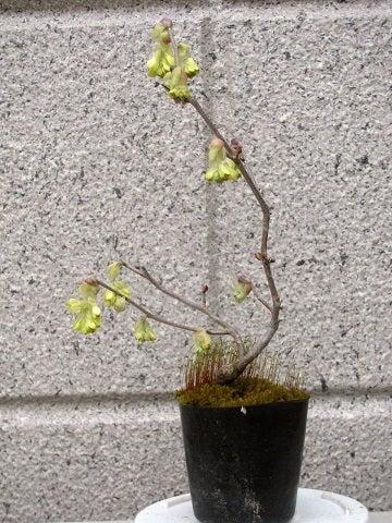 裏庭の盆栽棚から-土佐水木