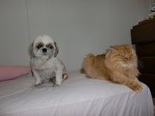 スコ猫アポロと老犬チップ