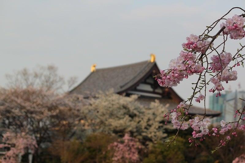 特選街情報 NX-Station Blog-増上寺の桜