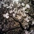 夜桜見物してきました…