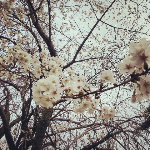 2PIECES! LCCで地球をさすらおう -世界一周ブログ--sakuras.jpg