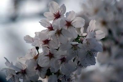 昭和歌謡ブログ マンボウ 虹色歌模様-桜