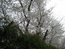 夫婦世界旅行-妻編-sakura in rain