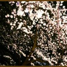 桜と焼肉とマエケンと