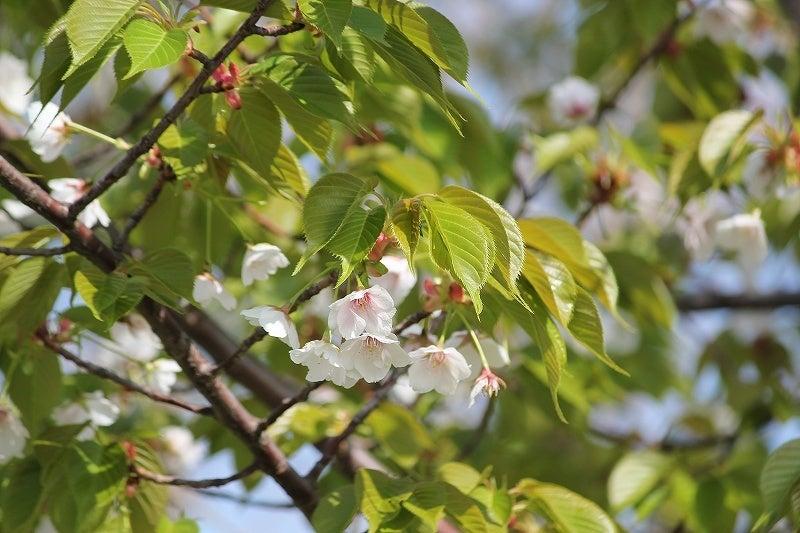 特選街情報 NX-Station Blog-寒桜の花と若葉