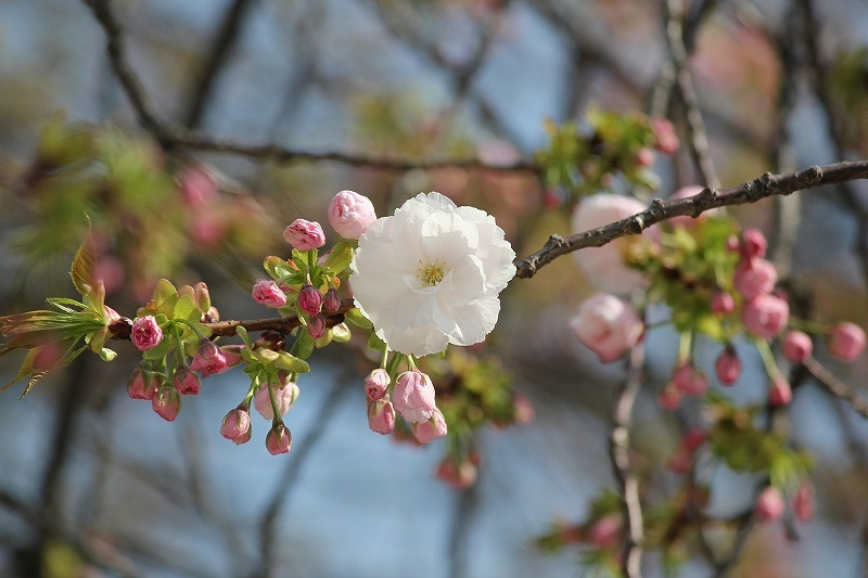 特選街情報 NX-Station Blog-八重桜