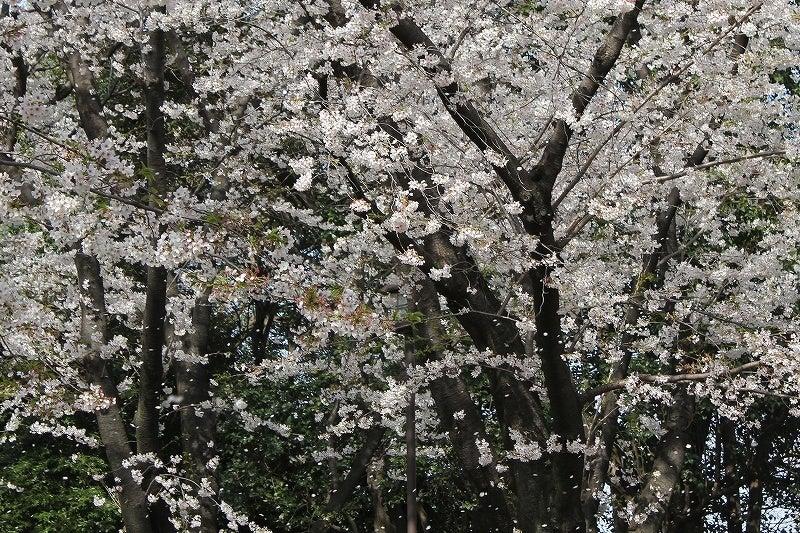 特選街情報 NX-Station Blog-少し風が福と花吹雪