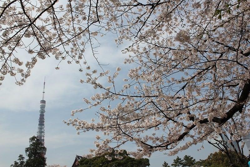 特選街情報 NX-Station Blog-芝公園 桜満開