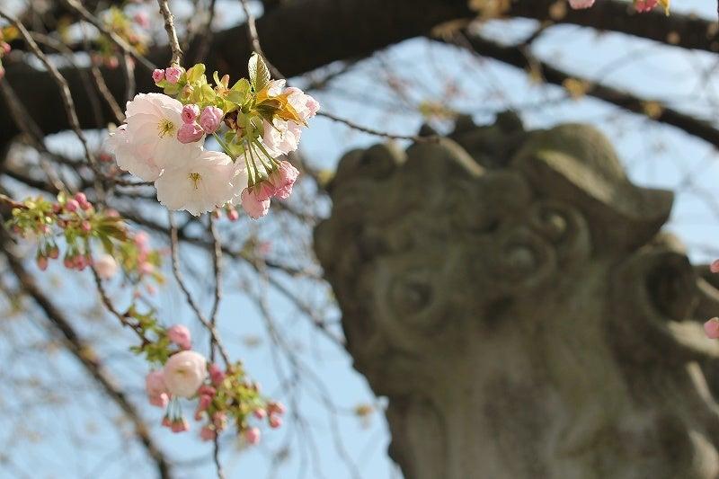 特選街情報 NX-Station Blog-狛犬と八重桜