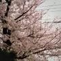 桜と春とTシャツ。