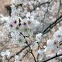 2013年の桜はもう…