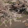 我が家の桜吹雪