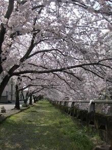 $紗羅日々ごはん。-桜並木。