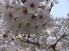 鴻巣の整体院ささき 整体よもやま話-桜の花3