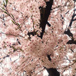 サクラ さくら 桜 …