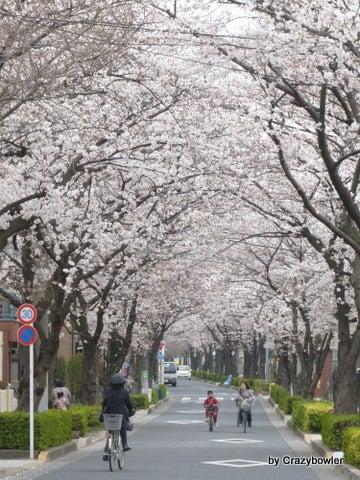 生涯学習!by Crazybowler-足立区古千谷本町の桜のトンネル
